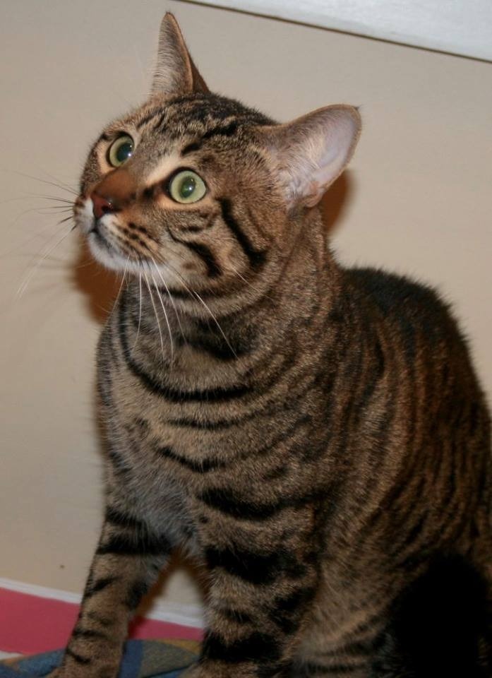 This is Yogi and he is a male domestic short haired cat. He is around 3-4 years old.