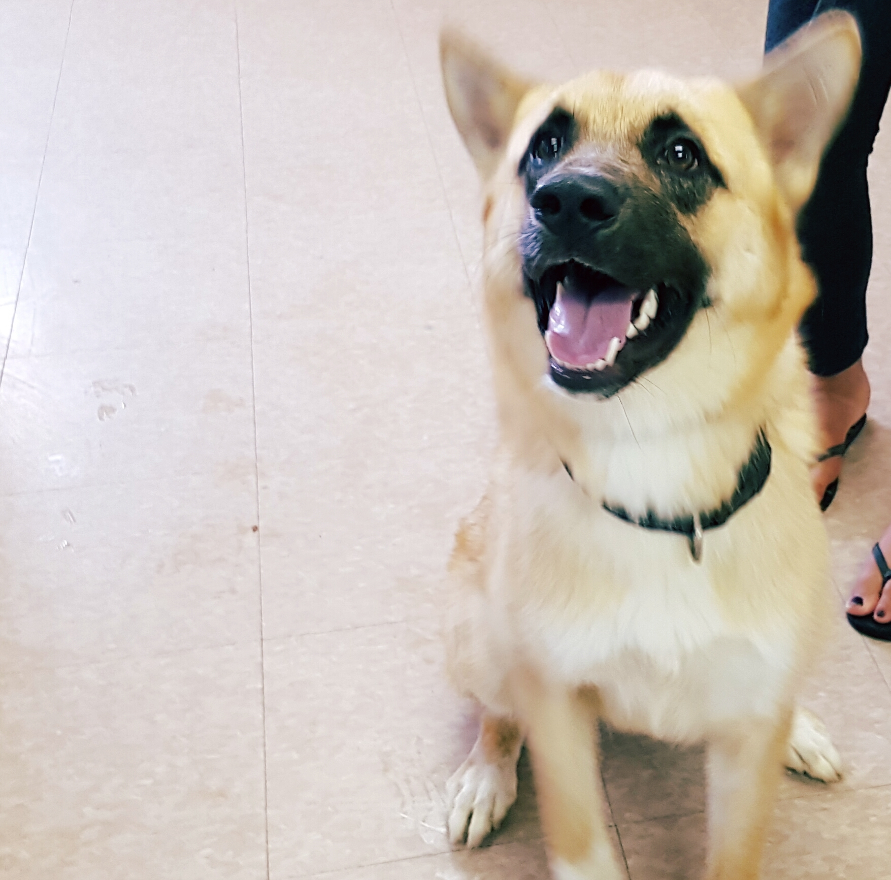 Roxy is a spayed Shepherd cross. She has been at the shelter for 9 months!