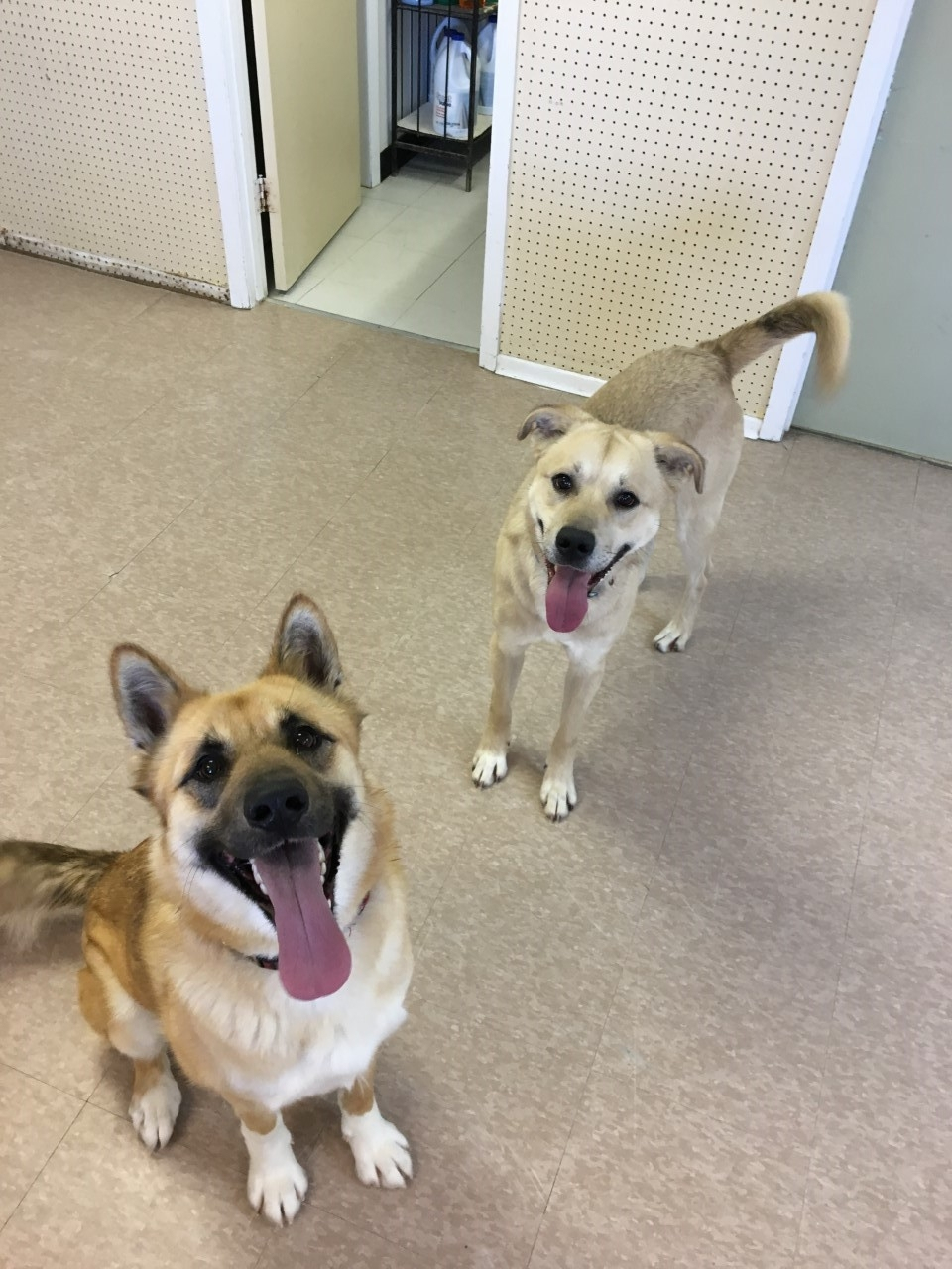 Stuart and Roxy are both amazing and lovable dogs! Stuart is in the back of the picture and Roxy is the dog in the front with the pointed ears. Stuart is a fixed male and he is around 3 years of age. Roxy is not spayed as of yet and she is around 1.5 years old.